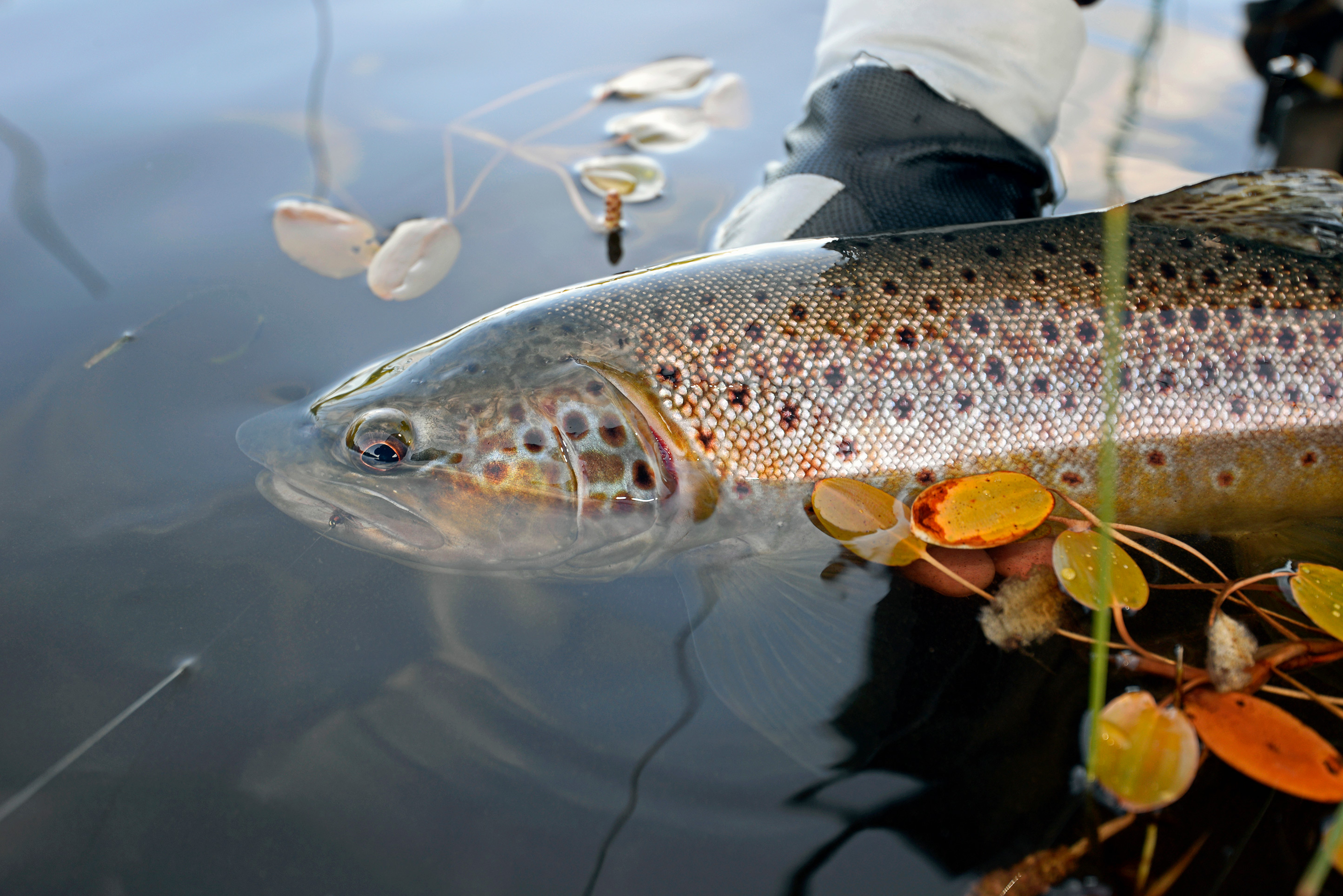 This is one of the best places on earth to sight cast to wild brown trout with a fly rod.