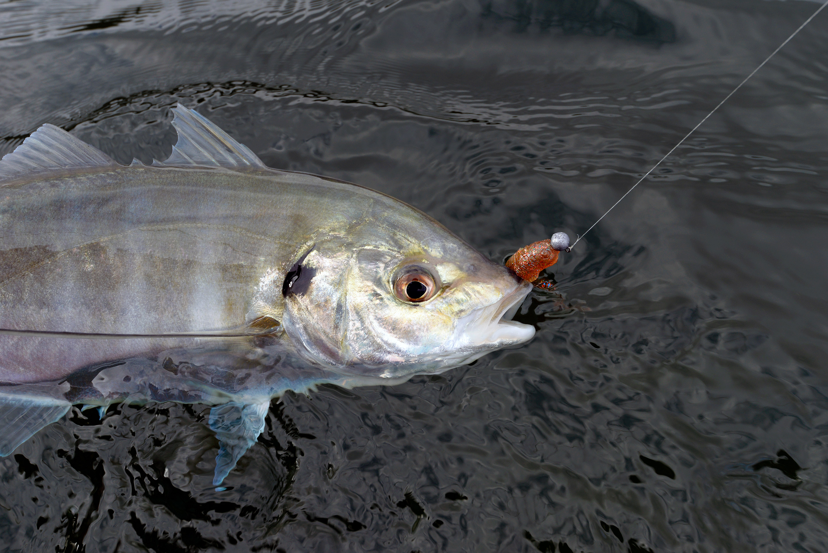 Another hefty silver trevally comes to the landing net after a spirited battle.