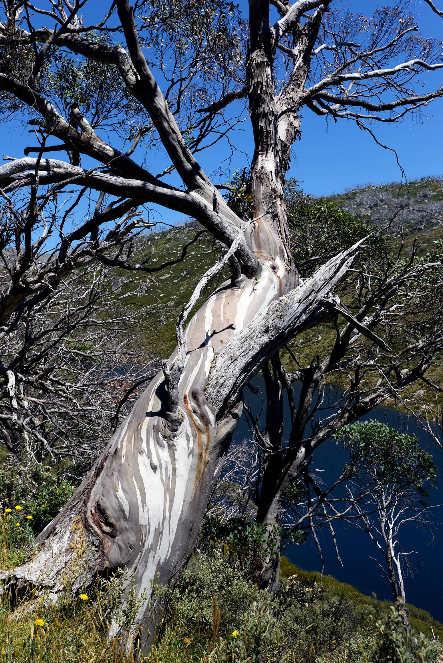 A gnarled snow gum. This tree has survived many winters. It was likely growing well before the dam was built.